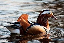 Free Duck Royalty Free Stock Photo - 19536725