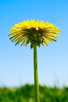 Free Dandelion Flower Stock Image - 19537011