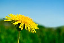 Free Dandelion Flower Stock Photography - 19537472