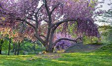 Free Japanese Cherry, Prunus Serrulata Royalty Free Stock Photos - 19537588