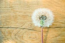 Fluffy Dandelion Stock Images