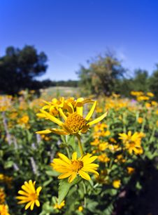 Free Field Of Yellow Daisies Stock Images - 19537824