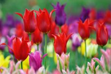 Free Colorful Tulips Royalty Free Stock Photography - 19537857