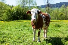 Free Cow Stock Images - 19537864