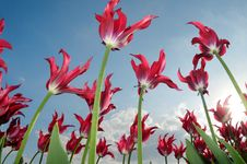 Free Red Tulips In The Windy Field Stock Image - 19537921