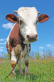 Free Cow On Green Grass Royalty Free Stock Images - 19538039