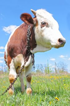 Free Cow On Green Grass Royalty Free Stock Photos - 19538058
