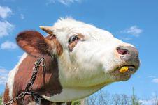 Free Cow Eating Dandelion Stock Photo - 19538100