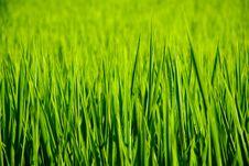 Free Rice Stock Image - 19538461