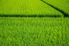 Free Rice Fields Stock Photo - 19538510