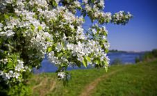 Free Apple-tree In Color In A Fair Weather. Royalty Free Stock Photos - 19538678