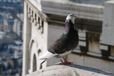 Paris, Pigeon Stock Images