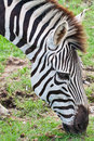 Free Head Of Zebra In Green Field Royalty Free Stock Photography - 19541127