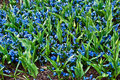 Free Field Full With Purple Hyacinths In Holland . Stock Photography - 19546602