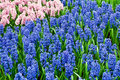 Free Hyacinths Growing In Field In Holland. Stock Photo - 19546740