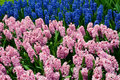 Free Hyacinths Growing In Field In Holland. Royalty Free Stock Photography - 19546747