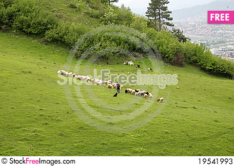 Sheeps on meadow Stock Photo