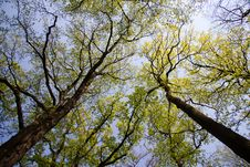 Free Treetops In Spring Stock Photo - 19540000