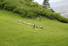 Free Sheeps On Meadow Stock Photos - 19541993