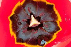 Free Tulip Detail Stock Image - 19542381