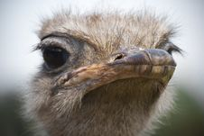 Free Ostrich Royalty Free Stock Photography - 19542637