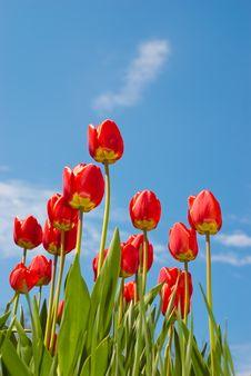 Free Tulips Stock Image - 19543561