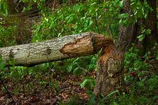 Free Beaver Damage Stock Photo - 19543750