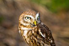 Free Small Owl Stock Photo - 19543930