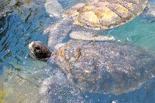 Free Turtles Royalty Free Stock Photo - 19544735