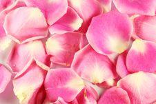 Free Lobe Of Pink Rose Stock Photo - 19544760