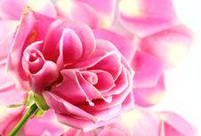 Free Pink Rose Royalty Free Stock Images - 19544809