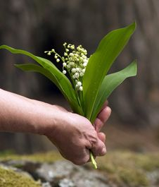Free Lily Of The Valley Royalty Free Stock Image - 19545306
