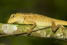 Free Nature Lizard Royalty Free Stock Images - 19545509