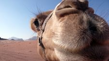 Free Camel Close-up, Wadi Rum, Jordan Stock Photo - 19546330