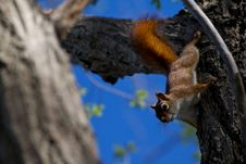 Free Red Squirrel Royalty Free Stock Photography - 19546737