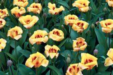 Free Yellow Tulips . Stock Image - 19546761