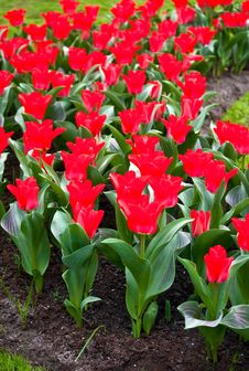 Red Tulips . Stock Image
