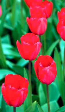 Red Tulips . Royalty Free Stock Photos