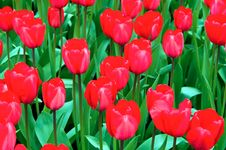 Red Tulips . Royalty Free Stock Photo
