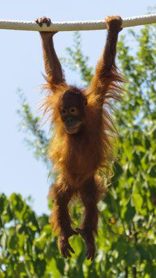 Baby Orangutan Hanging Stock Photos