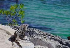 Free Iguana Stock Image - 19547411