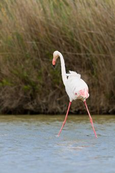 Free Pink Flamingo Stock Photography - 19548402