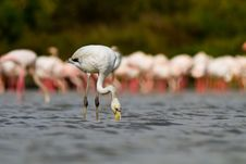 Free Young Pink Flamingo Stock Image - 19548431