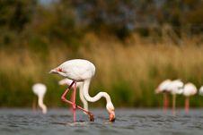 Free Pink Flamingo Stock Photos - 19548443