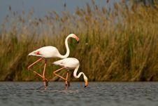 Free Pink Flamingos Royalty Free Stock Image - 19548446