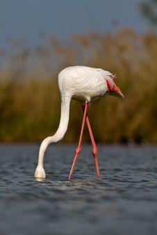 Free Pink Flamingo Stock Photography - 19548452