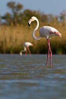 Free Pink Flamingo Royalty Free Stock Photos - 19548478