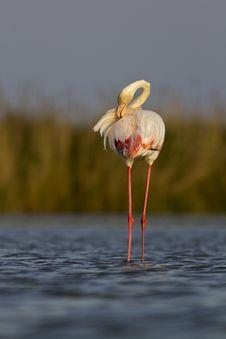 Free Pink Flamingo Royalty Free Stock Photography - 19548487