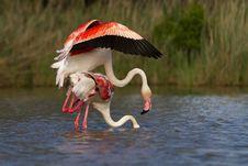 Free Greater Flamingos Royalty Free Stock Photo - 19548505