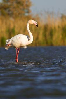 Free Pink Flamingo Royalty Free Stock Photos - 19548548